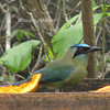 Related to the Blue-crowned Motmot.