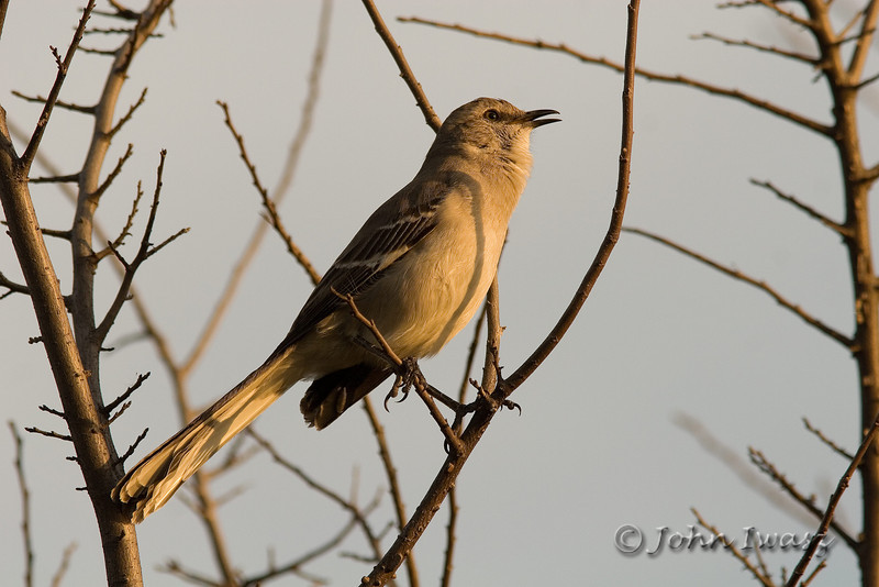Common Mocking Bird (Northern Mocking Bird)  This was spotted as I was pulling into my hotel parking lot in Austin after work. He (or she) was singing his heart out.