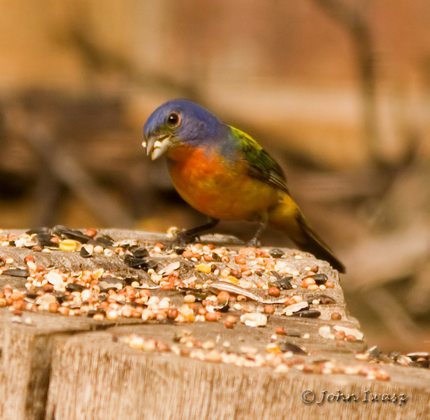 Location: Fort Worth Nature Center Species: Painted Bunting (Passerina ciris)  I was hoping to spot one of these colorful little gems while in Texas.