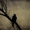 Turkey Vulture Silhouette