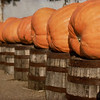 Pumpkins On Whiskey Barrels All In A Row