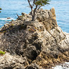 The Lone Cyprus Tree in Pebble Beach! Nikon D800E Dr. Elliot McGucken Fine Art Landscape & Nature Photography for Los Angeles Fine Art Gallery Show !