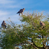 It's a good day when you see a Snail Kite, here you can see three - Lake Toho, FL