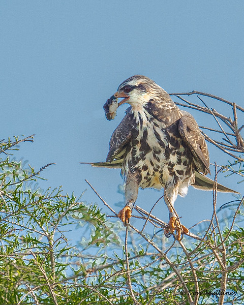 This juvenile Snail Kite had it's meal brought in by it's parents - Lake Toho, FL