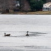Geese cut a path in the thin melting ice.