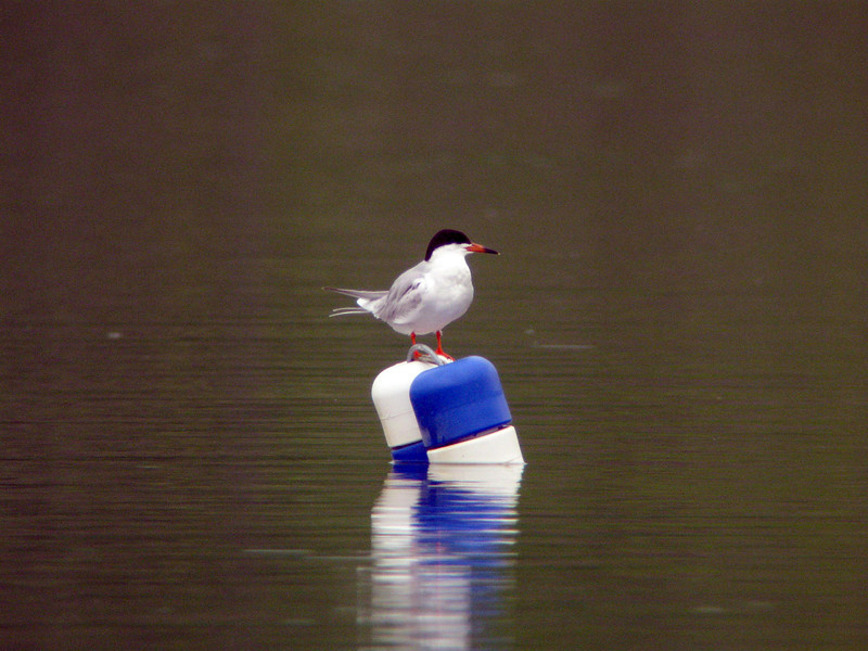2010-05-12 - twin lakes forsters tern