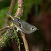 A Ruby-crowned Kinglet- Victoria Island, BC