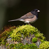 Oregon Junco, one of the two forms of Dark-eyed Juncos in the region - Victoria, Vancouver Island, BC