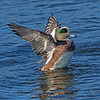 Male American Wigeon flapping- Vancouver Island, BC, Canada