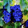 Cabernet grapes ready for harvest. This is a square composition and should be ordered as such.