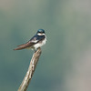 Tree Swallow 6459