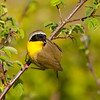Common Yellowthroat 9030