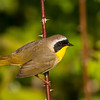 Common Yellowthroat 8991
