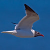 A Laughing Gull passes eye-level to me. The tail is blown out but I like the eye detail. - Carolina Beach, NC
