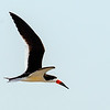 Black Skimmers were busy setting up shop at the nesting area -  South Wrightsville Beach, NC