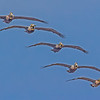 A five bird Brown Pelican flyby - Carolina Beach, NC