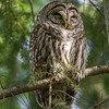 A snoozing Barred Owl - Victoria, Vancouver Island, BC