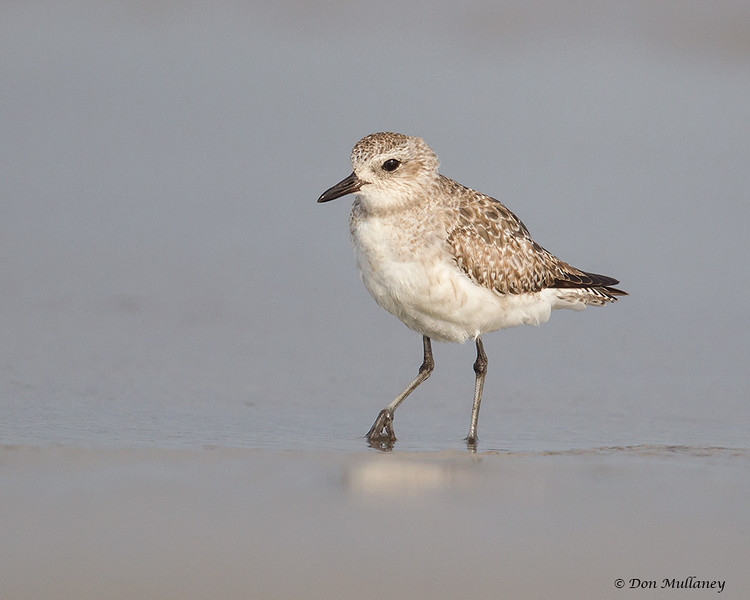 Black-bellied Plover- Figure Eight Island, NC