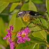 A Bananaquit eyes a flower from the Tabebuia - Santiago, Dominican Republic