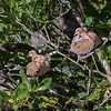 A pair of Mourning Doves - Santiago, Dominican Republic