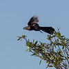 A Smooth-billed Ani in flight- Santiago, Dominican Republic