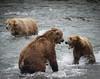 Alaskan brown bears fighting