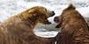 Two large Alaskan brown bears fighting in the water