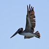 Brown Pelican over Gold Beach