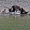 buzzard feed on salmon