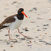 A lone American Oystercatcher wandered onto the beach - South Wrightsville Beach, NC