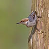 Brown-headed Nuthatch - Carolina Beach State Park