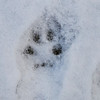 Bobcat print (?) at The Ridges, Jan. 2013