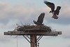osprey behavior on their nest
