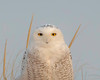 immature snowy owl close-up