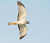 male northern harrier or marsh hawk