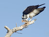 osprey eating a flatfish