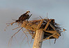 osprey shares its nest with a sparrow