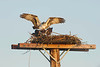 ospreys mating on their nest in early light