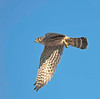 merlin falcon carrying prey; ruby crowned kinglet