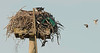 osprey shares it nest with english sparrows