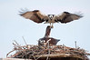 ospreys mating on their nest