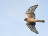 marsh hawk, now known as northern harrier