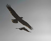 osprey chased by a crow