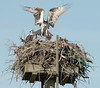 osprey male brings fish to its nest