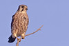kestrel, photographed at Cape May in the fall