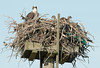 osprey, female and two of her chicks shares nest with english sparrow