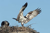 male osprey brings sticks to its nest