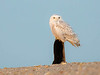 immature snowy owl on old stump
