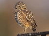 burrowing owl on wooden perch