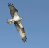 osprey carrying partially eaten fish